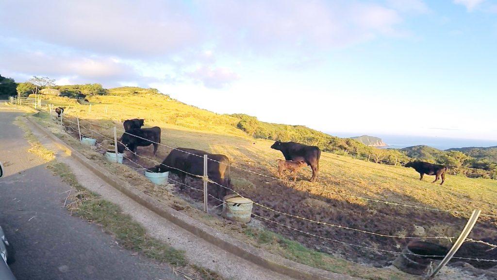 牧場なので牛がいます
